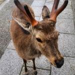Japonia, Nara, jelenie, Nara Park
