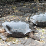 Galapagos Islands - face to face with mother nature Giant tortoise