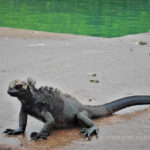 Galapagos Islands - face to face with mother nature sea iguana