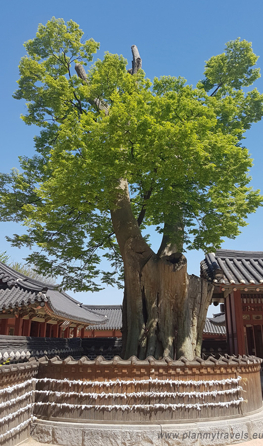 South Korea, Seoul day trip, Suwon Fortress Haenggung Palace, Zelkova Tree