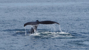 Husavik, Whale Watching