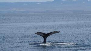 Húsavík, Whale Watching Tours