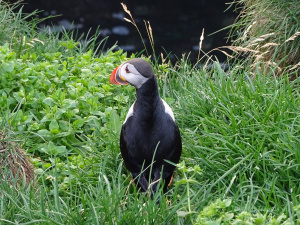 Icleand land of puffins