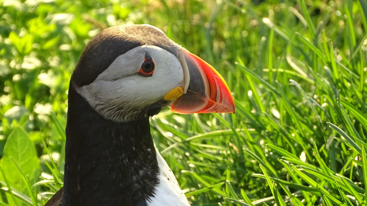 East Iceland - the capital of puffins